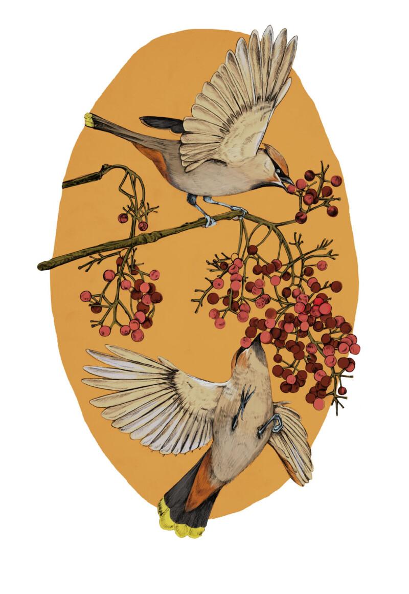 Illustration of Waxwing birds eating berries